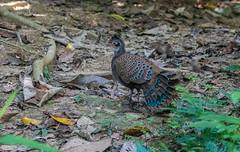 DSC_5680 (Adrian Royle) Tags: malaysia tamannegara travel holiday nature wildlife bird pheasant malayanpeacockpheasant nikon outdoors forest polyplectronmalacense