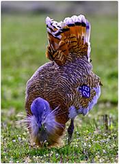 Avutarda (Otis Tarda)   figandPhoto004 (figandPhoto) Tags: avutarda otistarda calera aves nikon d810 sigma 150600 hide