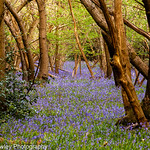 Carpet of Bluebells thumbnail