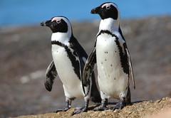 Manchot du Cap-African penguin (Spheniscus demersus) (Alexandre VDY) Tags: manchot cap penguin african southafrica afrique plage mer ocean animal oiseau nature bird canon eos5dmark3 500mm wildlife wild