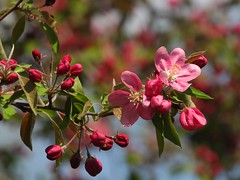 7632ex colorful crab-apple blossoms  **Explore** (jjjj56cp) Tags: flower flowers blossoms blooms buds pink crabapple spring springtime april bokeh p1000 coolpixp1000 nikoncoolpixp1000 jennypansing blooming profuse explored explore dof pinkbokeh