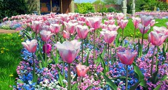 A lovely display of tulips (billnbenj) Tags: barrow cumbria floraldisplay tulips towncentre