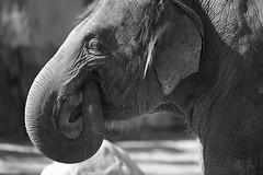 Elefant 03 (Sebastian Ukas) Tags: 150600mm berlin nikon sigma tiere tierpark z6 elefant