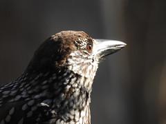Spotted Nutcracker (Nucifraga caryocatactes) (eerokiuru) Tags: spottednutcracker nucifragacaryocatactes tannenhäher orzechòwka mänsak nikoncoolpixp900 p900 bird wildlife nature birding vogel