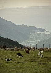 Sea visible from the pastureland (O. Heda) Tags: cow cattle ranch 牧場 sea pacific 太平洋 海 伊豆 izu shizuoka amagi 天城 静岡 japan 日本