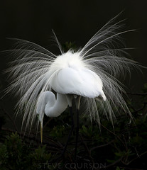 feather fireworks (Steve Courson) Tags: greategret venicerookery stevecourson mating plumage florida