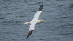 Morus bassanus / Atlantic Ocean Iceland (Torok_Bea) Tags: morusbassanus szula seabird atlanticocean atlantióceán iceland izland bird wonderful beautiful wild wildanimal nikon nikond7200 nature natur tamron18400 northen sula ganneth