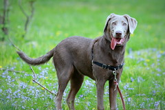 another Happy Tongue Tuesday (Judecat (welcoming Spring)) Tags: dog canine puppy silverlabradorretriever labradorretriever tongue pearl