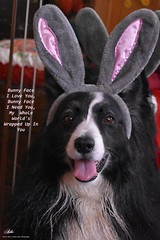 Bunny Face I Love You... (ASHA THE BORDER COLLiE) Tags: funny easter bunny ears dog picture ashathestarofcountydown connie kells county down photography