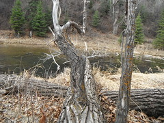 Happy Tree-Mendous Tuesday (Mr. Happy Face - Peace :)) Tags: yyc fishcreekpark cowtown albertabound htt texturetuesdays treemendoustuesday nature hiking tree spring art2019