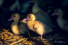 Saturnin (Anne Sarthou . Photographie) Tags: ferme farm oiseau bird duck duckling canard caneton oie oisillon animal animaux volaille
