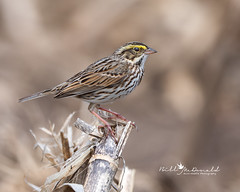 Savannah Sparrow (Bill McDonald 2016) Tags: sparrow savannah ontario spring canada 2019 perched perching corn nature wildlife billmcdonald canon photography