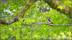 Woodpecker Standoff! (www.andystuthridgenatureimages.co.uk) Tags: woodpeckers males greater spotted canopy territorial tree leaves spring standoff calling