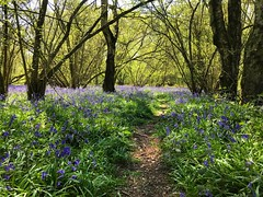 Bluebell Wood (Marc Sayce) Tags: bluebells old down wood countryside ropley soke four marks hampshire spring april 2019