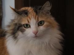 Pretty Kitty (M_Strasser) Tags: reigoldswil olympus olympusomdem1 schweiz switzerland suisse svizzera