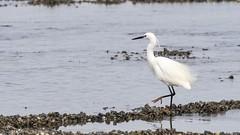 Aigrette garzette - Little egret (dom67150) Tags: oiseau bird animal wildlife nature aigrettegarzette littleegret egrettagarzetta estuairedelorne normandie