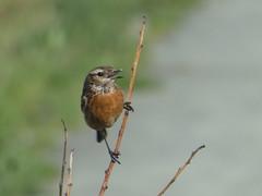 P1060368 (jesust793) Tags: pájaros birds naturaleza nature