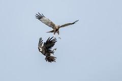 Marsh harrier (Patrick Jansen ( Oetmeij )) Tags: 2019 bird birdofprey birdphotography bruinekiekendief circusaeruginosus marshharrier nature roofvogels vogelfotografie