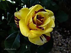 Matices 002 (adioslunitaadios) Tags: rosas plantasyflores jardín campo airelibre viverosalegre macro fujifilm flores