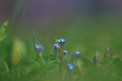 don't forget us (Paul wrights reserved) Tags: forgetmenots forgetmenot bokeh dream focus dreamy wildlife wild flowers wildflowers flower flowering spring springtime bokehphotography bokehlicious pentax pentaxk1 k1 200mm f28 pentaxstar dastar colour colourful vibrant