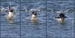 Gentoo Penguin (karenmelody) Tags: animal animals bird birds falklandislands gentoopenguin pygoscelispapua sealionisland spheniscidae sphenisciformes vertebrate vertebrates