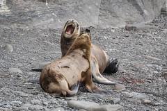 South American Fur Seal, Falkland (karenmelody) Tags: animal animals arctocephalusaustralis bleakerisland falklandislands familyotaridae mammal mammals southamericanfurseal vertebrate vertebrates