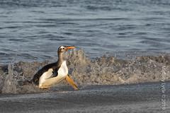 Gentoo Penguins (karenmelody) Tags: animal animals bird birds falklandislands gentoopenguin pygoscelispapua sealionisland spheniscidae sphenisciformes vertebrate vertebrates