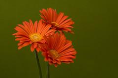Flowers (ost_jean) Tags: flowers nikon d5300 tamron sp 90mm f28 di vc usd macro 11 f004n ostjean colors daisies
