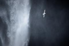 Flight of the Fulmar III (craig.denford) Tags: skogafoss waterfall iceland fulmar canon 7d mark ii manfrotto craig denford