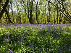 Bluebells (Marc Sayce) Tags: bluebells old down wood countryside ropley soke four marks hampshire spring april 2019