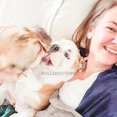 So much for that afternoon nap! (Michele Nicolette) Tags: ifttt instagram bulldog english bully dog cute