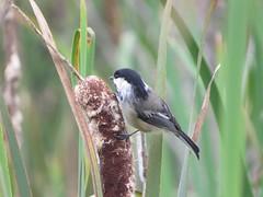 chickadee on cattails (Cheryl Dunlop Molin) Tags: blackcappedchickadee chickadee bird cattail
