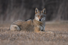 Eastern Coyote (aj4095) Tags: eastern coyote nature wildlife outdoor spring nikon ontario canada animal canid