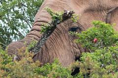 Megafauna (Raphs) Tags: southafrica easterncape addoelephantnationalpark elephant closeup head loxodontaafricana africanbushelephant portulacariaafra spekboom elephantbush schotiaafra karooboerbean bush eating grazing canoneos70d canonef75300mmf456usmiii
