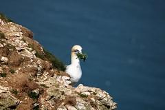 Gannet (nikola swann) Tags: bird gannet bempton cliffs northyorkshire coastline sea