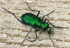 Six-spotted Tiger Beetle, Cicindela sexguttata, Washington Crossing State Park, NJ (Seth Ausubel) Tags: coleoptera cicindelinae carabidae