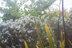 IMG_1433 (Pigeon Travels) Tags: 2019 arboretum california flowers garden nature santacruz trees ucsantacruzarboretum