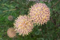 IMG_1419 (Pigeon Travels) Tags: 2019 arboretum california flowers garden nature santacruz trees ucsantacruzarboretum