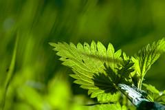Brennessel.....Urtica dioica (thorvonassgard) Tags: urticadioica brennessel blatt tee kräuter