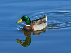 Mallard Duck (Bob Gilley) Tags: mallard duck maryland