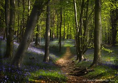 Magical Bluebell Path (Ade Ward Phototherapy.) Tags: landscape wales flowers silence mindfulness beautiful trees forest woodland woods colours sigma nikon phototherapy therapy wildlife nature path bluebells