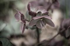 A Darker Vision Still (fotostevia) Tags: autorikenon5514 helaborus lentenrose abstract flora flower desaturated pentaxart bokeh