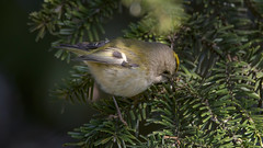 Goldcrest (2/2) : a female Golcrest searching for food (Franck Zumella) Tags: bird small oiseau petit smallest goldcrest roitelet huppe huppé kinglet animal nature tree arbre wildlife green yellow sauvage vie vert jaune sony a7s a7 tamron 70300 150600