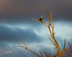 His Waking Place-6279.jpg (bryanstewartcreative) Tags: bryanstewartcreative eagle baldeagle perch tree deadtree looking watching resting waking morning light morninglight goldenhour drama dramatic clouds gray grayclouds lighting composition sunlit orange glow radiant vibrant tone mood moody tones nikon nikond810 d810 nature wildlife bird birds birding naturephotography wildlifephotography birdphotography michigan southeastmichigan kensingtonmetropark metrodetroit puremichigan naturalmichigan thegreatlakesstate michiganawesome awesomemitten michigandnr natural outdoors outdoorphotography wildlifecontest photographycontest photography passion naturecontest
