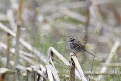 White-throated Sparrow (FluvannaCountyBirder754) Tags: sparrow whitethroatedsparrow corn stalk virginia hardwareriverwildlifemanagementarea fluvanna fluvannacounty birdwatching bird birding birder birds passerine winter songbird animal creature nature outdoor outdoors outside green