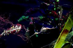 Sarafina the Seahorse Shares Secret Silent Stories (kirstiecat) Tags: seahorse sheddaquarium marinelife marinechicagoaquariumaquaticreefseahorsealliterationcolorscolourunder watermarinechicagoaquariumaquaticreefalliterationcolorscoloursunder water