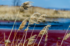 DSC_6411 (tspottr723) Tags: eckels point secaucus nj new jersey meadowlands reeds grass tide color plant water nikon d7000 18200