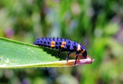 Lady beetle nymph (TJ Gehling) Tags: insect coleoptera beetle coccinellidae ladybeetle ladybug ladybirdbeetle nymph grub canyontrailpark elcerrito