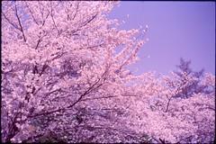 (✞bens▲n) Tags: leica m4 kodak e100sw summilux 50mm f14 film analogue slide cherry blossoms flowers trees japan springtime