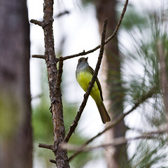 Alder Flycatcher (ramseybuckeye) Tags: alder flycatcher wimington north carolina smith creek park bird tree pentax